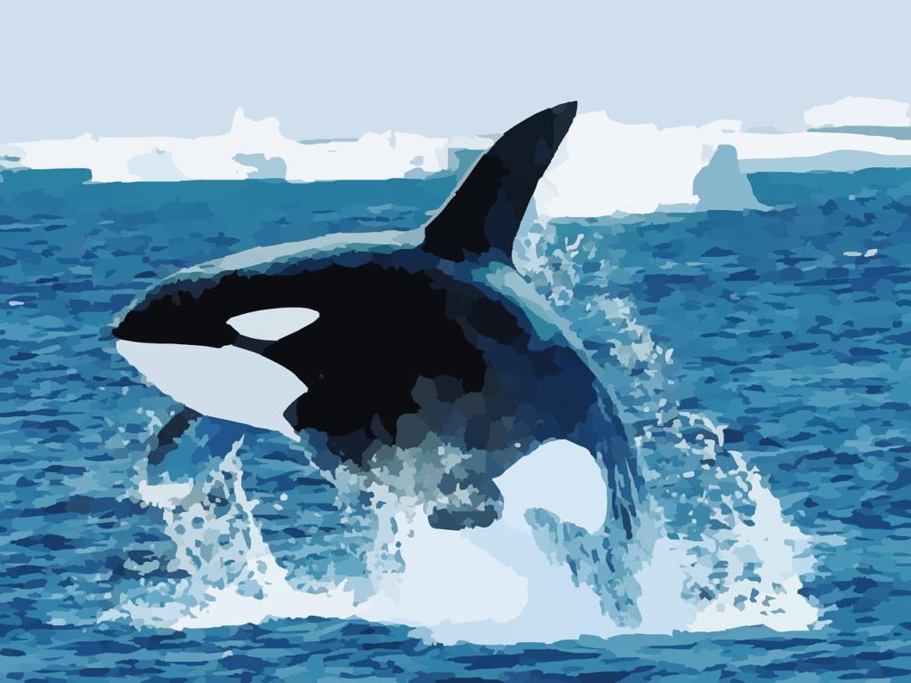Las Orcas: ballenas asesinas - 1