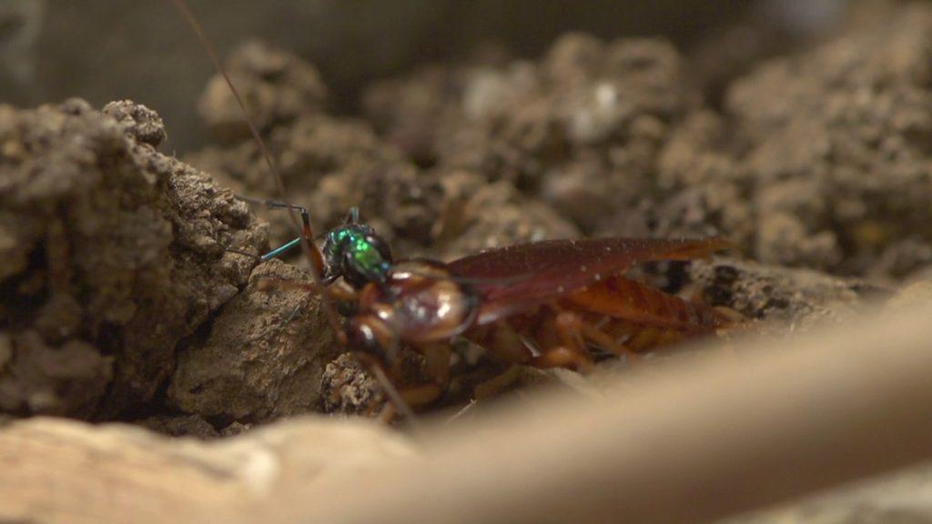 La Avispa Esmeralda: El terror de las cucarachas - 2