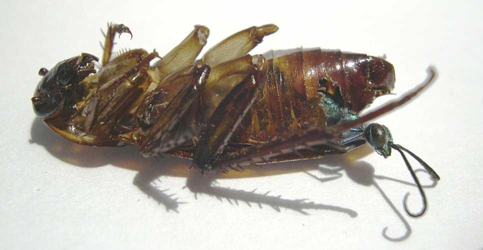 La Avispa Esmeralda: El terror de las cucarachas - 3