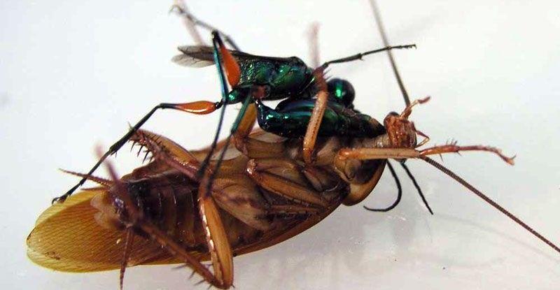 La Avispa Esmeralda: El terror de las cucarachas - 4