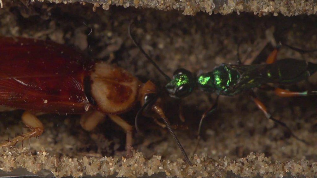 La Avispa Esmeralda: El terror de las cucarachas - 5