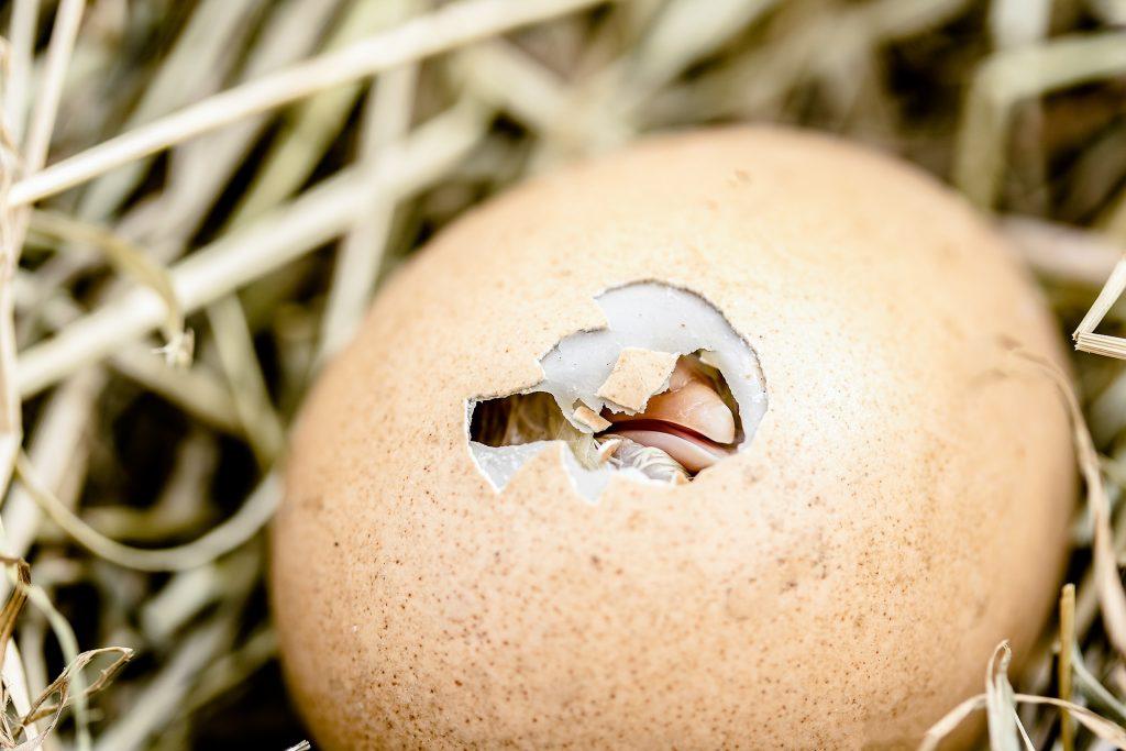 ¿Qué fue primero: el huevo o la gallina?