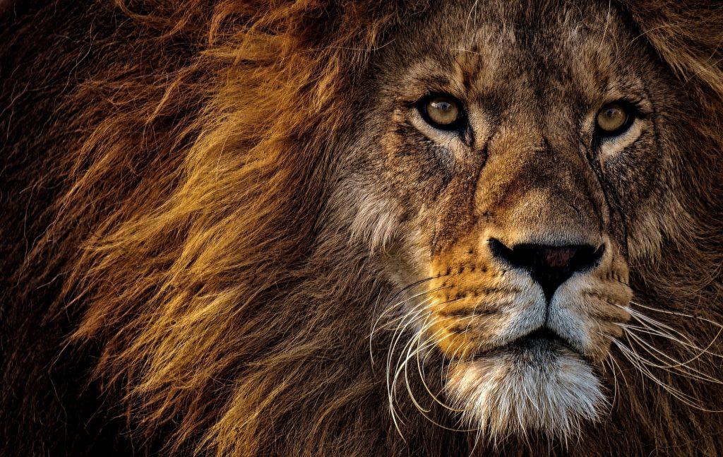 ¿Por qué el león es el rey de la selva?