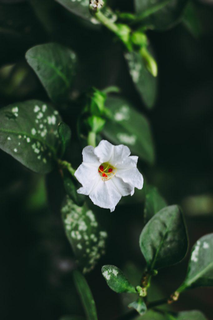 las plantas más venenosas del mundo 4