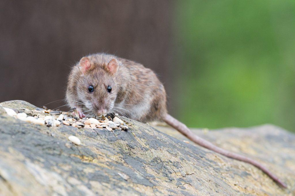 Los ratones: uno de los roedores más comunes párrafo 6