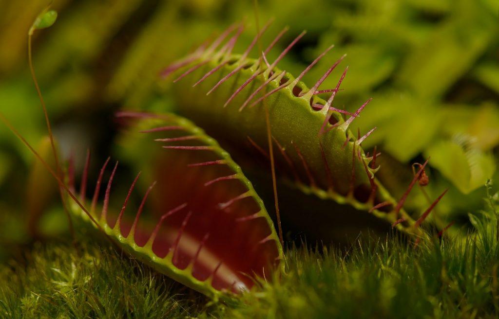 3 plantas carnívoras que puedes tener en casa 4