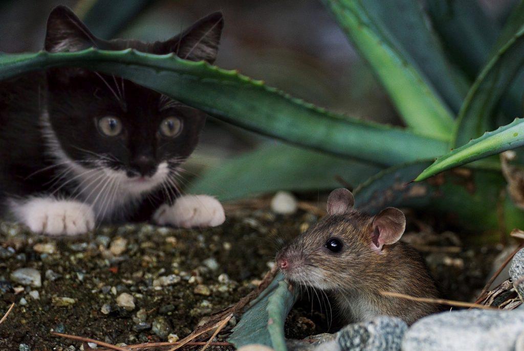 Los ratones: uno de los roedores más comunes párrafo 4