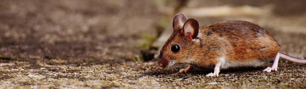 Los ratones: uno de los roedores más comunes parrafo 1