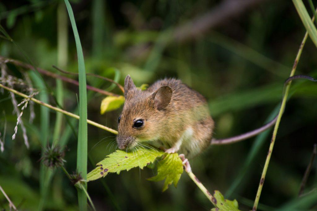 Los ratones: uno de los roedores más comunes párrafo #2