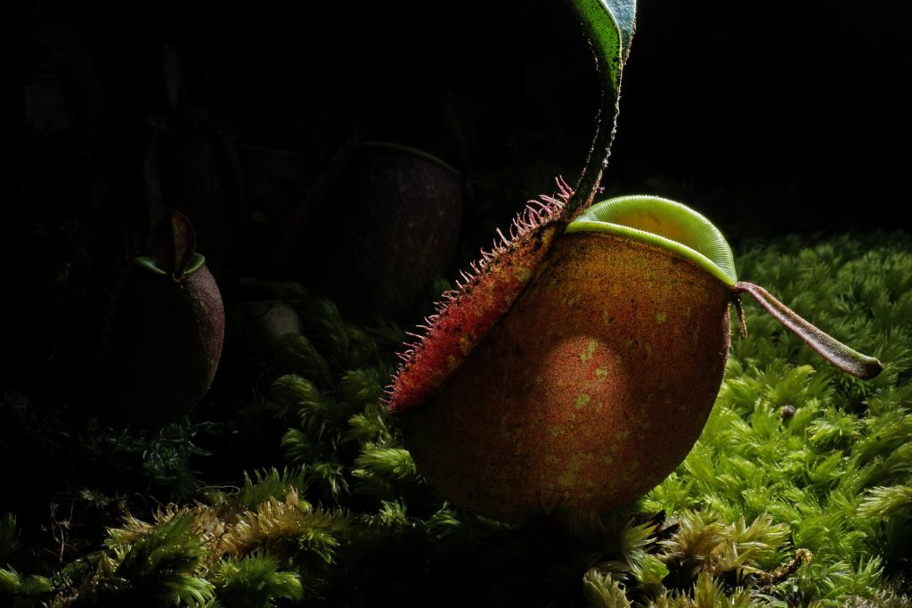 3 plantas carnívoras que puedes tener en casa 5