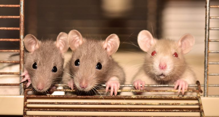Los ratones: uno de los roedores más comunes main