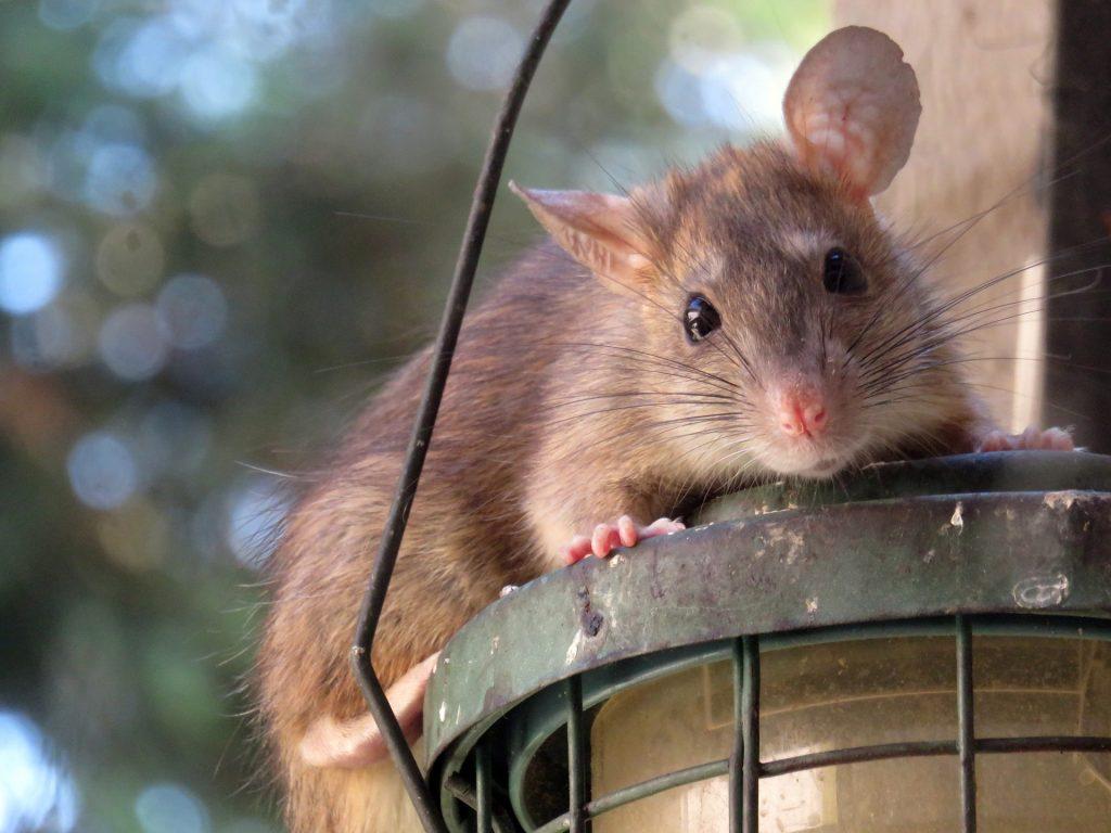 Los ratones: uno de los roedores más comunes párrafo 3